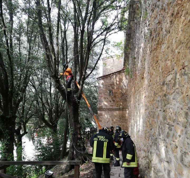 Lungo mura in Via dei Canneti, abbattuti tre lecci pericolanti con l'intervento dei Vigili del Fuoco
